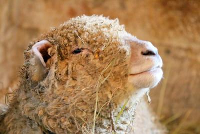 IMG_6623 mom sheep
