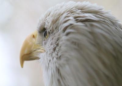 IMG_9387 bald eagle