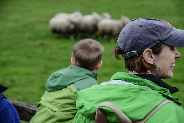 Billings Farm, Sheep Shearing / Herding