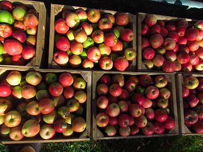 local apples for cider