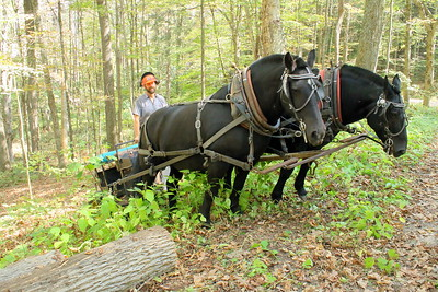 IMG_7599 ben Canonica of chelsea uses a team of percheron horses to pull a log onto the carriage road, logging with horses demo
