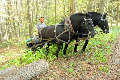 IMG_7597 Ben Canonica of chelsea, pulls a log out of the woods with team of percheron horses