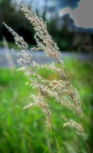 SylviaStewart.Wk36.Grass