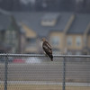 Raptor, Hawk, Vigo County, Wal Mart Retention Pond