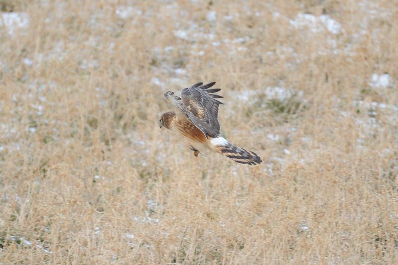 Northern Harrier Sugar Creek HRI