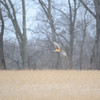 Northern Harrier Sugar Creek HRI