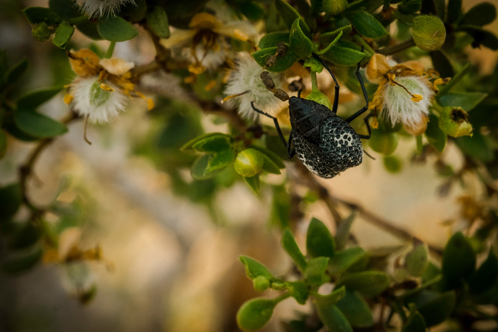 Bug munching on creosote blooms