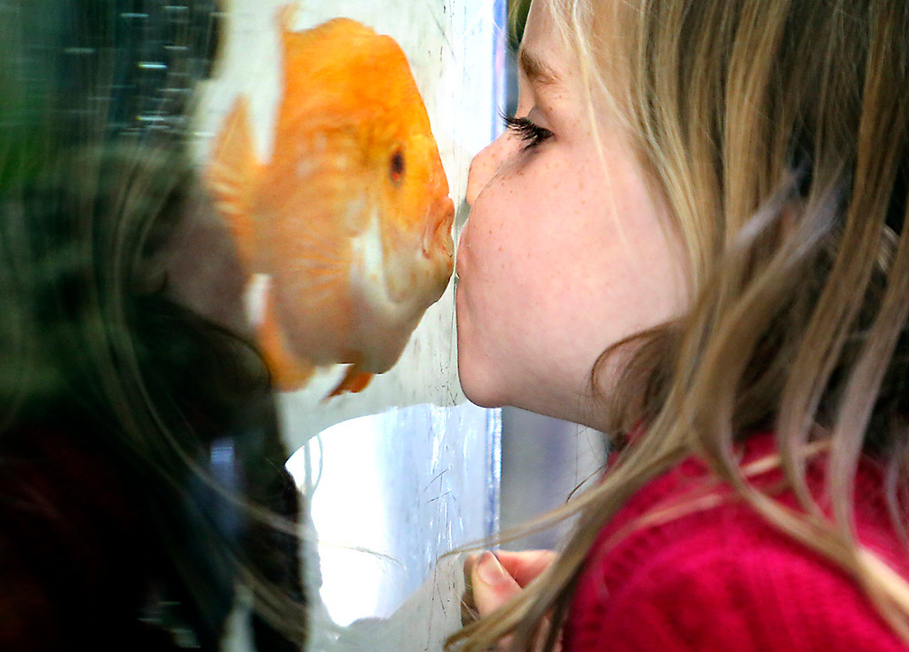 . Avery Gray, 4, connects with a kiss through the fish tank glass at Simcha Preschool on January 12, 2017 with a South American Cichlid that has been swimming in the tank at the Aptos, California school for the past 7 years. While still nameless, the fish has become a bit of a mascot at Simcha, which has been offering educationally enriching care for children 2-5 years old for the past 35 years. Simcha is the Hebrew word for joy.