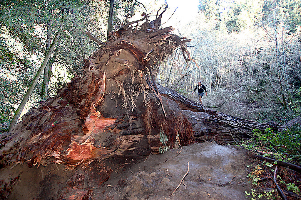 . Adam Saucedo of Salinas takes measure of the 1,000-year-old Advocate Tree that was uprooted in The Forest of Nisene Marks last week.  At 263 feet with a circumference of 45 feet, the tree was one of the largest in the park. (Dan Coyro -- Santa Cruz Sentinel)