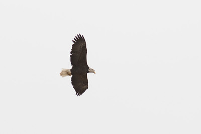 A bald eagle flies near the Wabash River in West Lafayette, Indiana on January 20, 2017