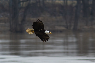 A bald eagle flies near the Wabash River in West Lafayette, Indiana on January 28, 2017