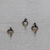 Three geese swim in the Wabash River