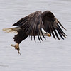 A bald eagle grabs a fish out of the Wabash River in West Lafayette, Indiana on January 28, 2017