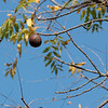 The last walnut on the tree