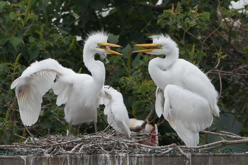 Great Egret Nest