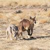 Kangaroos, Alice Springs Telegraph Station Historical Reserve, Alice Springs, Northern Territory, Australia