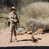 Black-breasted Buzzard (Hamirostra melanosternon) breaking emu eggs at the bird program, Alice Springs Desert Park, Northern Territory, Australia