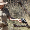 Australian magpie, Bird program, Alice Springs Desert Park, Northern Territory, Australia