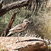 Bird program, Stone Curlew, Alice Springs Desert Park, Northern Territory, Australia