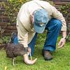 Bob feeds a Kiwi a worm, Whangarei Native Bird Recovery Center, New Zealand