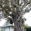 Morton Bay Fig Tree, Russell, Bay of Islands, New Zealand