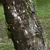 Lace Monitor, Daintree Rainforest, Queensland, Australia