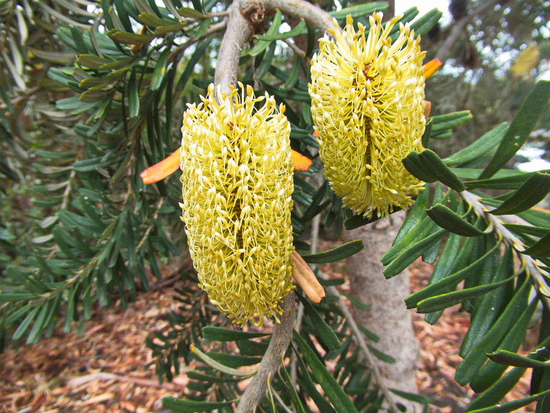 Banksia tree flower, Richmond, Tasmania, Australia