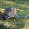 Wallabys, Cataract Gorge Reserve, Launceston, Tasmania, Australia