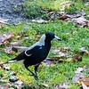Australian Magpie, Royal Botanic Gardens, Melbourne, Australia