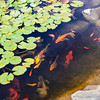 Koi at the Western Colorado Botanical Gardens, Grand Junction, CO