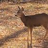 Mule Deer, Capitol Reef NP, UT