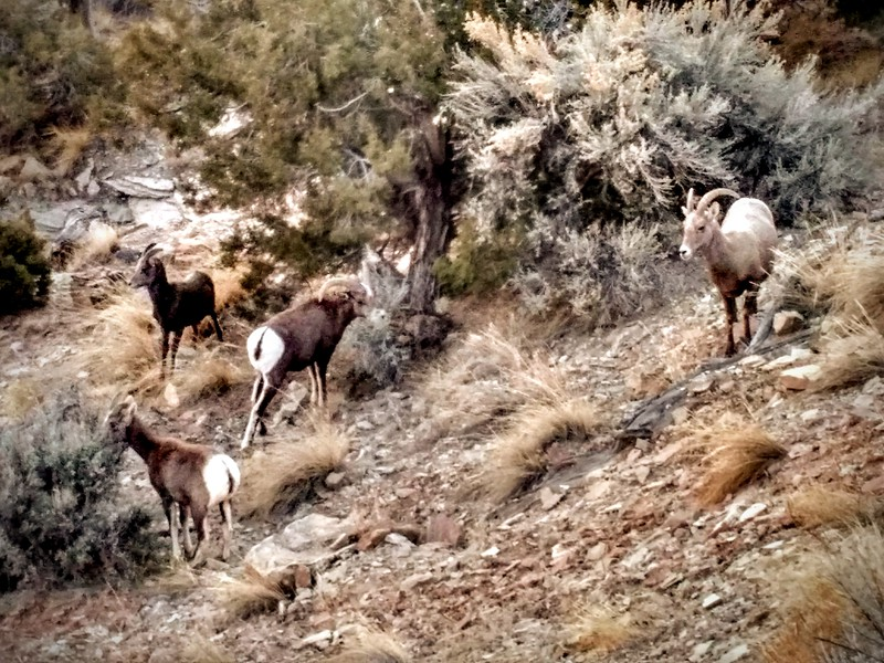 Bighorns, Colorado NM, CO
