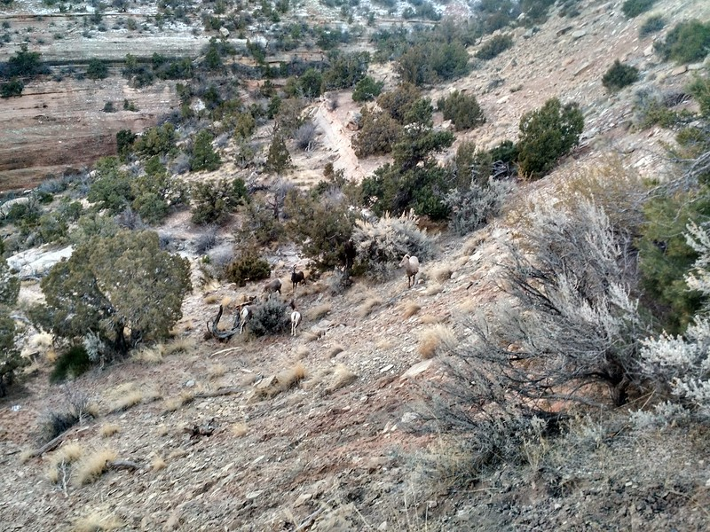 Bighorns, Colorado NM, CO