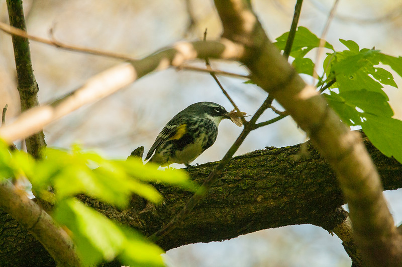 Yellow Rumped Warbler, with a catch in his beak