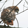 This is why they call him a red-tailed hawk