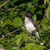 Eastern Kingbird at Big Creek Lake
