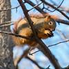 Squirrel chewing on a walnut