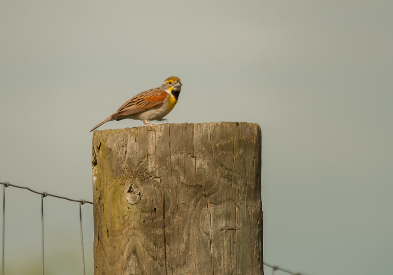 Dickcissel, I thought it was a meadow lark, but sister Jean identified him for me.