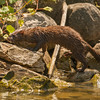 A mink, walking the shoreline of Big Creek Lake
