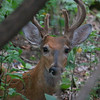 the second of 2 bucks hiding and resting