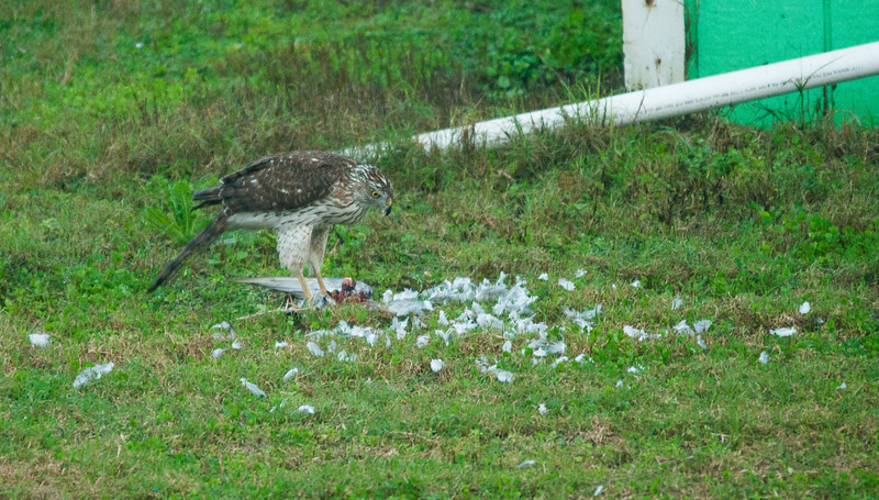 Cooper's Hawk with his meal about done