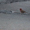 House Finch - Male, on the street by our house