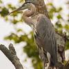 Blue Heron again