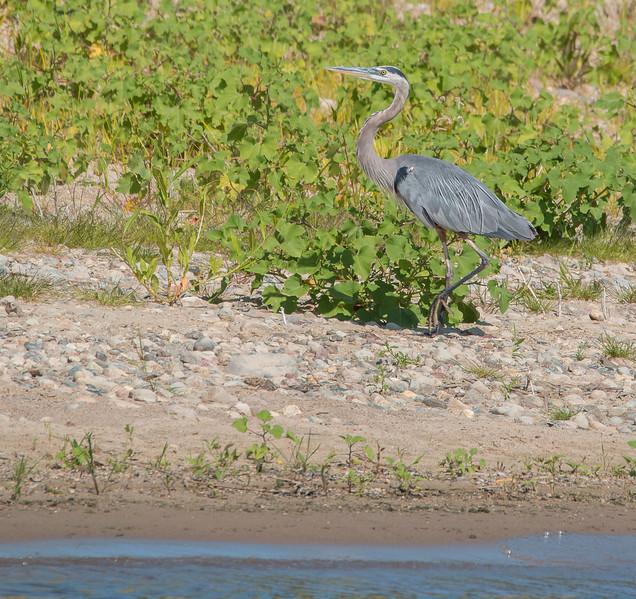 Blue Heron along Saylorville Lake