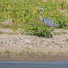 Blue Heron along Saylorville Lake