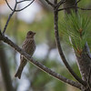 House finch, female, in one of our white pine trees