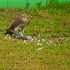 Cooper's Hawk, with a pigeon meal