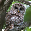 Barred Owl in neighbor Pam and Phill's back yard.
