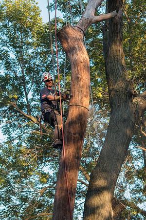 Cutting down a big tree piece by piece