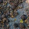 Walnuts on the trail